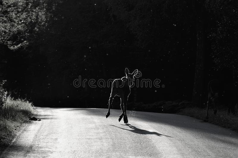 Moose crossing road at night. Black and white view of moose calf crossing countryside road at night through swarming insects stock photo