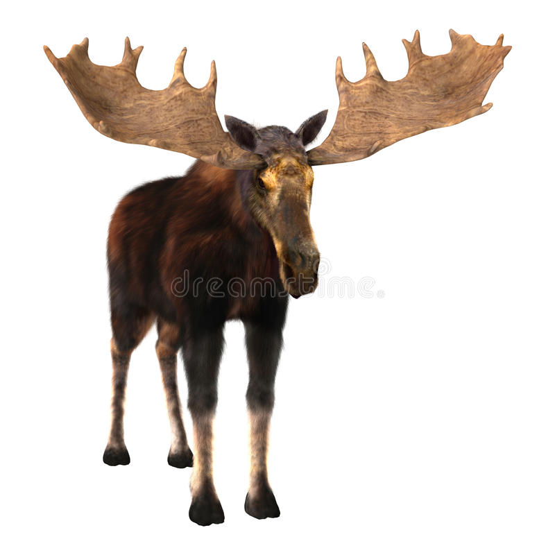 Moose. 3D digital render of a male moose isolated on white background royalty free stock photo