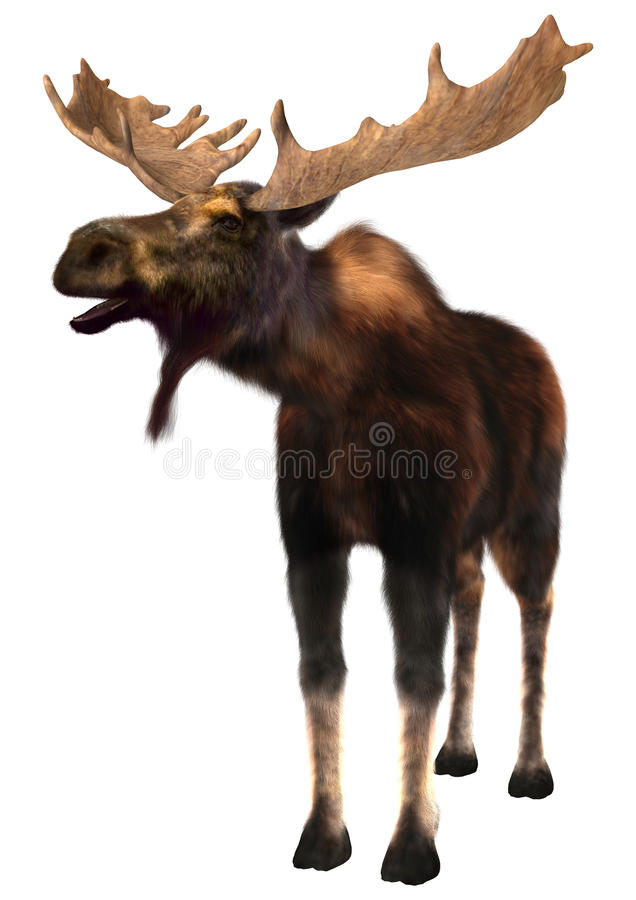 Moose. 3D digital render of a moose (North America) or Eurasian elk (Europe), or Alces alces, isolated on white background stock images