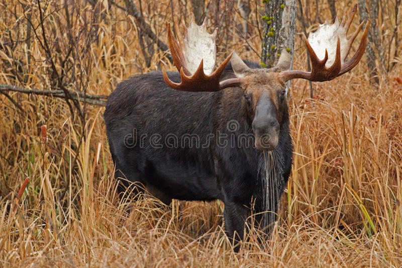 Moose drooling stock photography
