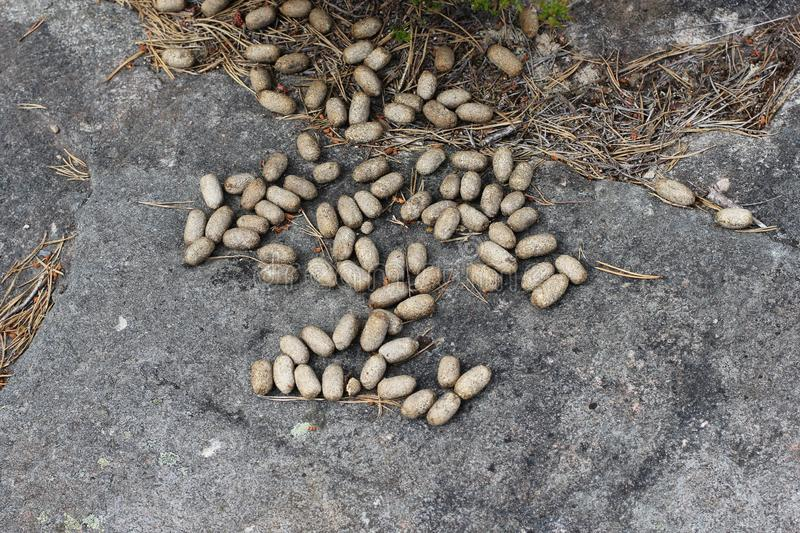 Moose droppings. On the ground stock images