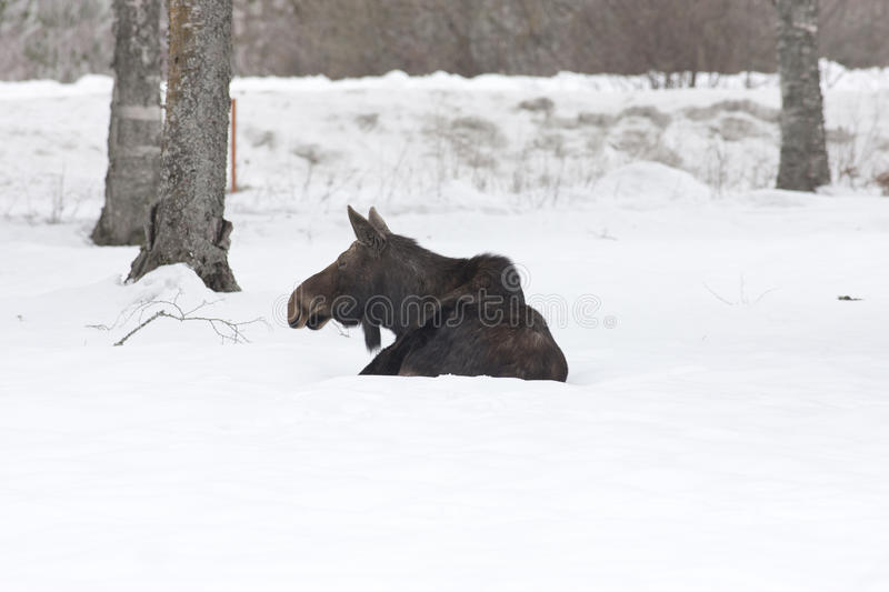 Moose at ease in snow. Moose in a snow covered yard in Sandpoint, Idaho stock photo