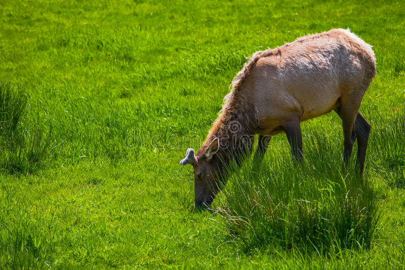 Moose Eating Grass Stock Image