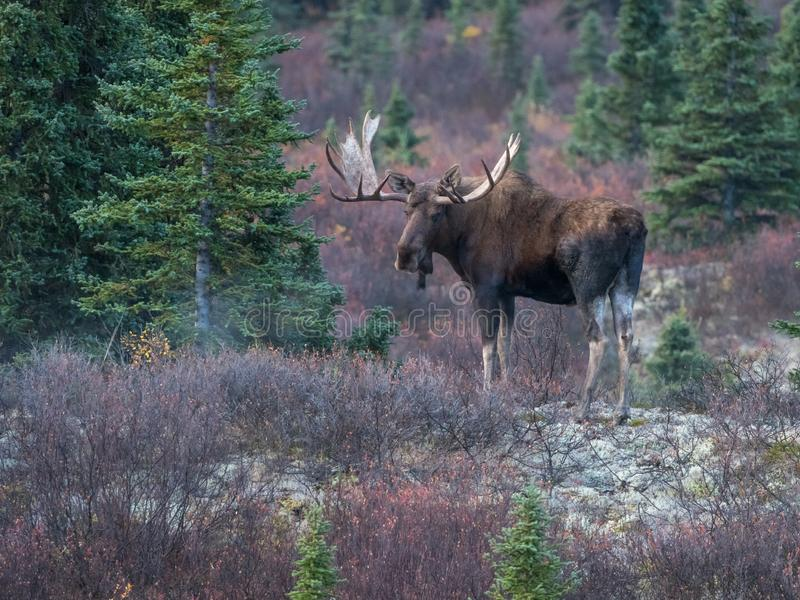 Bull Moose in Denali National Park. The moose or elk, Alces alces, is a member of the New World deer subfamily and is the largest and heaviest extant species in stock photos