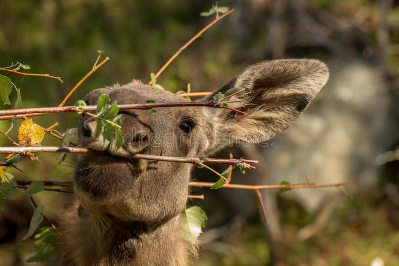 Moose or European elk Alces alces young calf eating leaves in forest. Moose or European elk, Alces alces, young calf eating leaves with green forest background royalty free stock photos