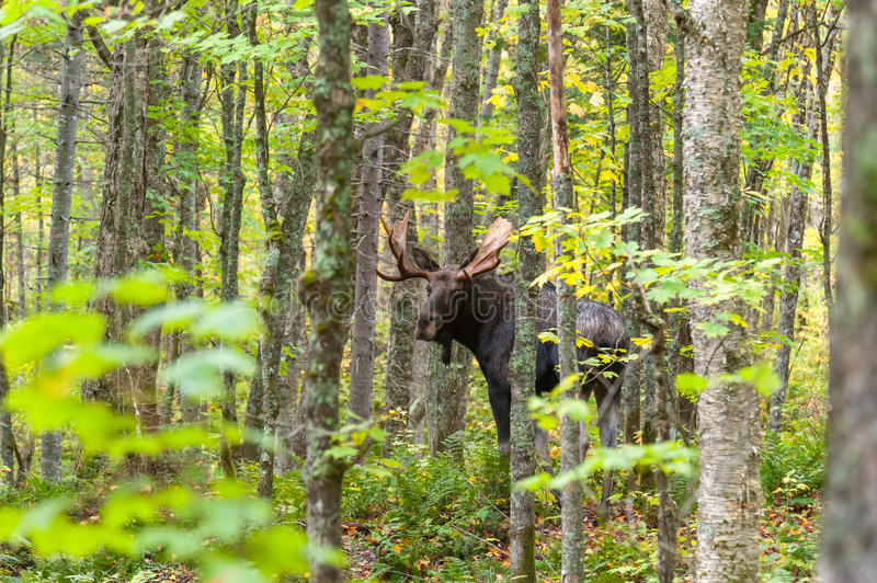 Moose eye contact royalty free stock images