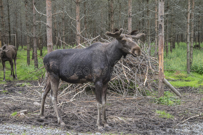 Download From A Moose Farm On Ed In Sweden, Male Stock Image - Image: 32100211