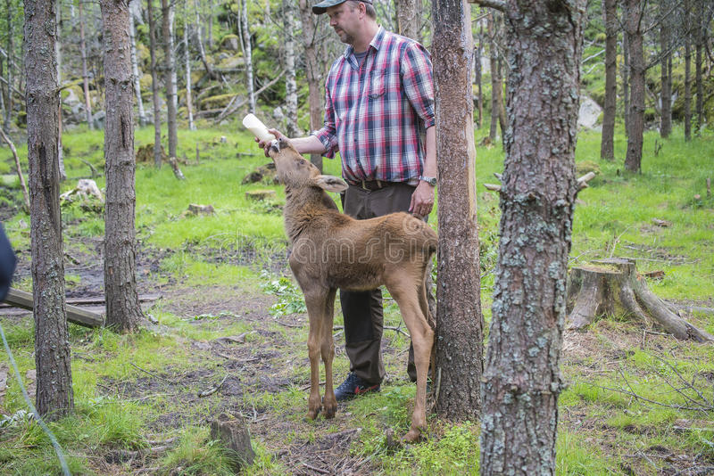 Download From A Moose Farm On Ed In Sweden, Moose Calf, Female, Being Fed Editorial Photography - Image: 32100342