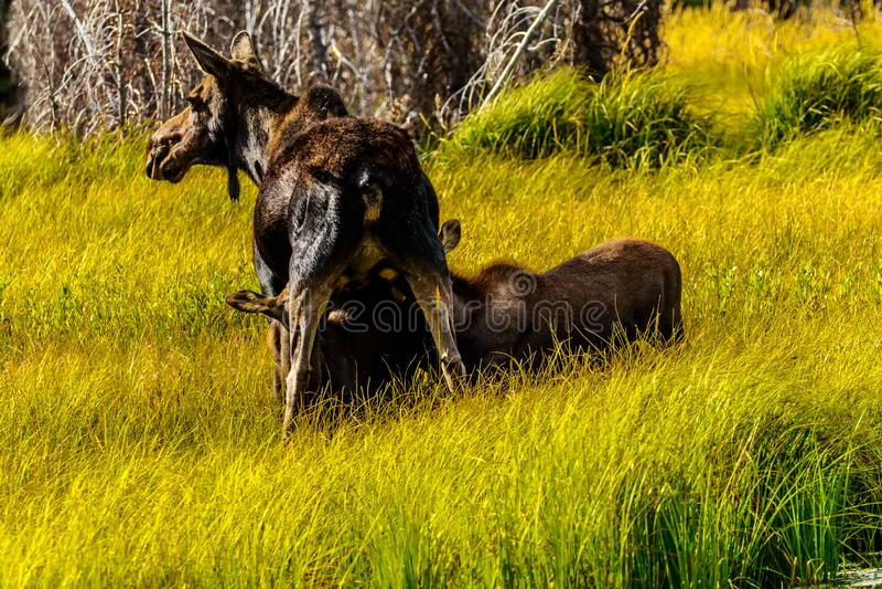 Moose Feeding Calves Jackson Hole Wyoming royaltyfria foton