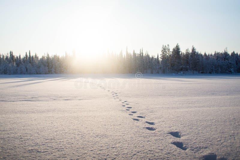 Moose footprints in the snow. Over the frozen Raudanjoki peat river, Vaattunki, Finland stock photo