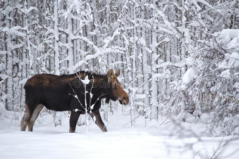 A moose in the forest. A large female moose in a snow covered forest stock image