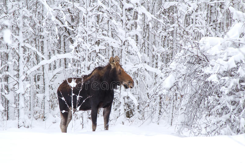 A moose in the forest. A large female moose in a snow covered forest royalty free stock photos