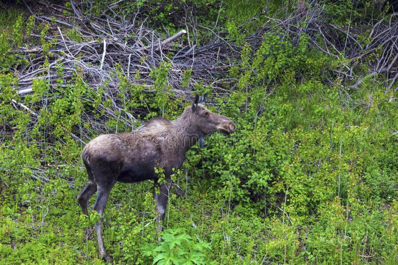 Moose in the forest, Newfoundland. St. John`s, Newfoundland and Labrador, Canada stock image