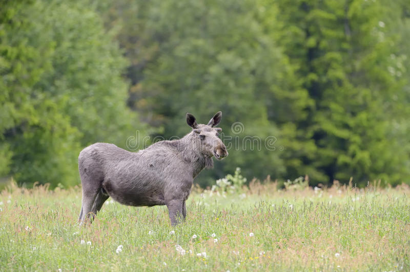 Moose in grassland. Moose feeding in grass land, between flowers royalty free stock images