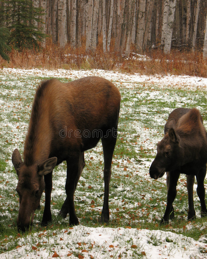 Moose grazing on field royalty free stock photos