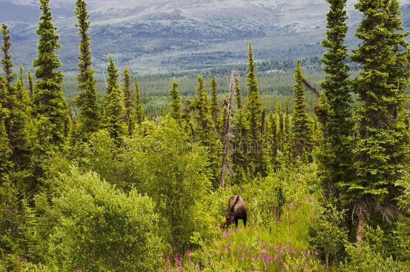 Moose grazing in forest along Alaska Highway stock photography