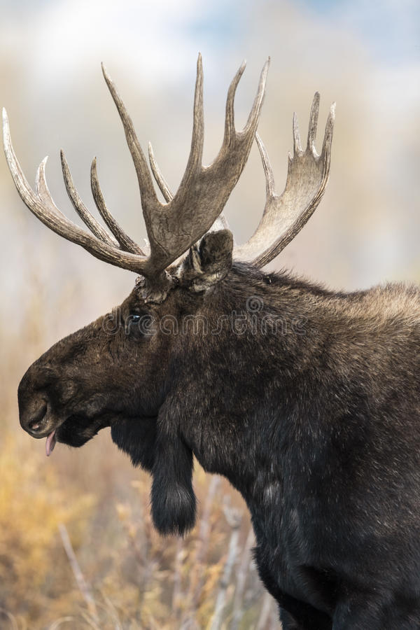 Moose 2014 and 2015. Handsome bull moose profile. Tongue out tasting the air. Gros Ventre Campground Grand Teton National Park Wyo USA . Carol Gray www stock photo