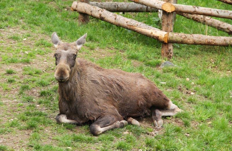 Moose having rest. Big moose female Alces alces having rest stock photos