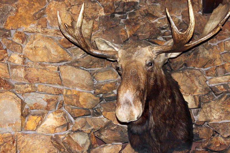 Moose Head Above a Stone Fireplace. Giant Moose Head Above a Stone Fireplace royalty free stock photography