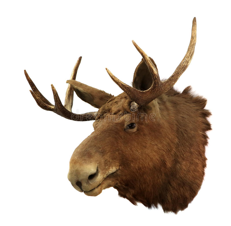 Moose head on a white background (Alces alces). Isolated stock images