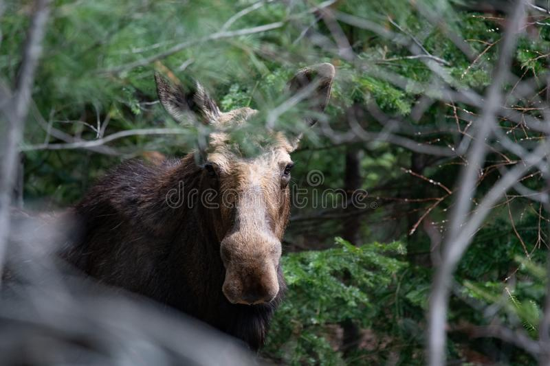 Moose hiding in the Adirondacks. Portrait of a young North American bull moose  hiding  in the Adirondack Mountains, NY USA in early spring stock photography