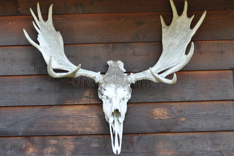 Moose horns. With the skull stock photo