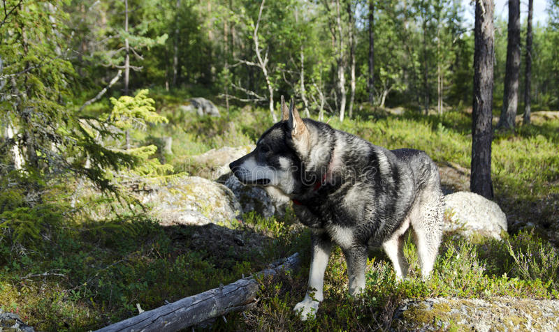 Moose hunting dog. Swedish moose hound (Jämthund) focusing on something in the forest, picture from the North of Sweden stock photography