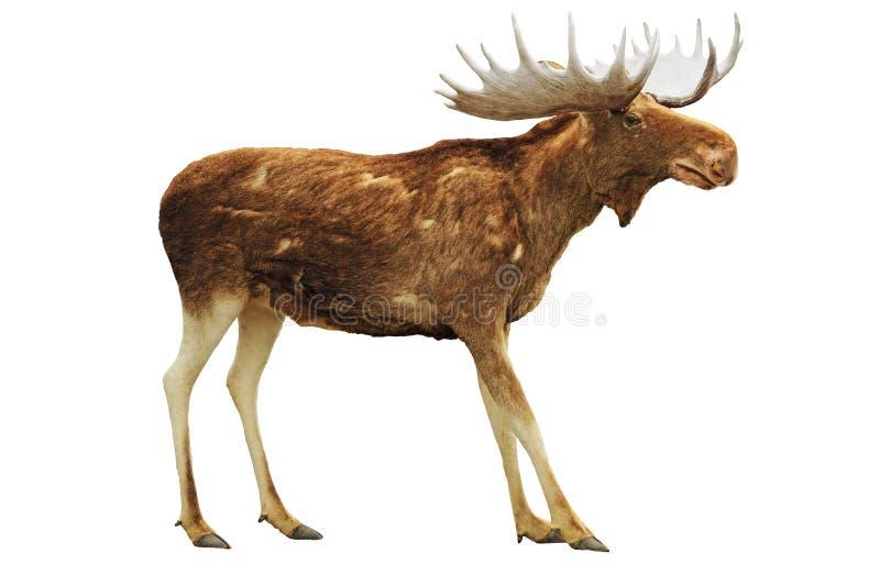 Moose isolated on white royalty free stock image