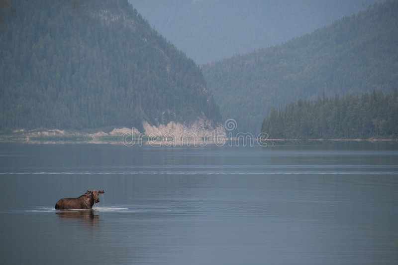 Moose In The Lake. Stock Photos