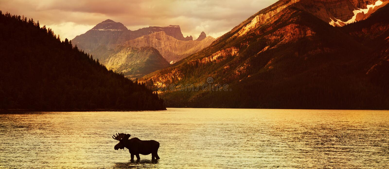 Moose in lake at sunset. Scenic view of Waterton Lakes National Park at sunset with moose silhouetted in foreground, Alberta, Canada royalty free stock photos