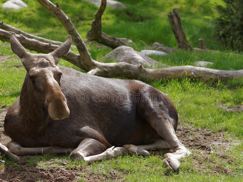 Moose. Lying on the grass stock photography