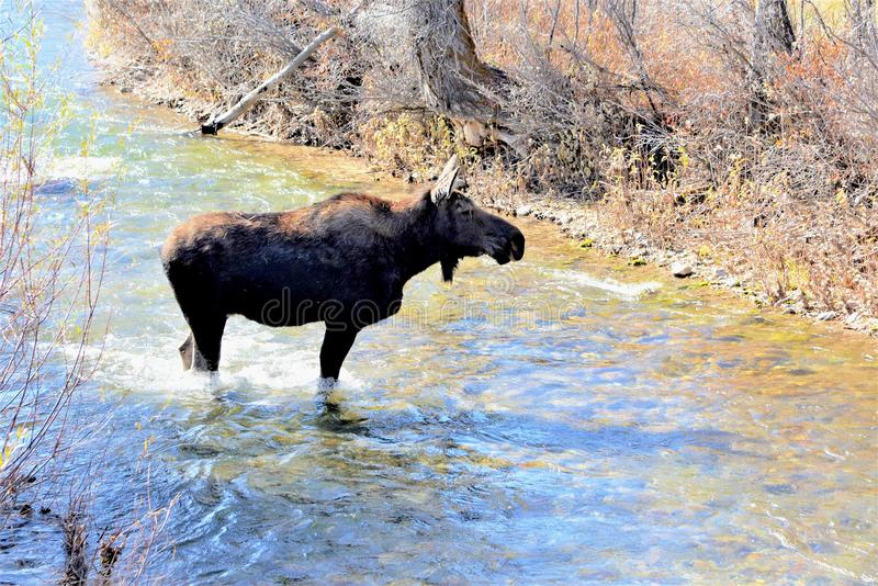 Moose makes its way through a stream in Jackson Hole, Wyoming. Moose come down in Spring from the high country to forage on the beautiful valley floor of Jackson stock photos