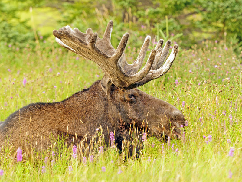 Moose in the Meadow royalty free stock photography