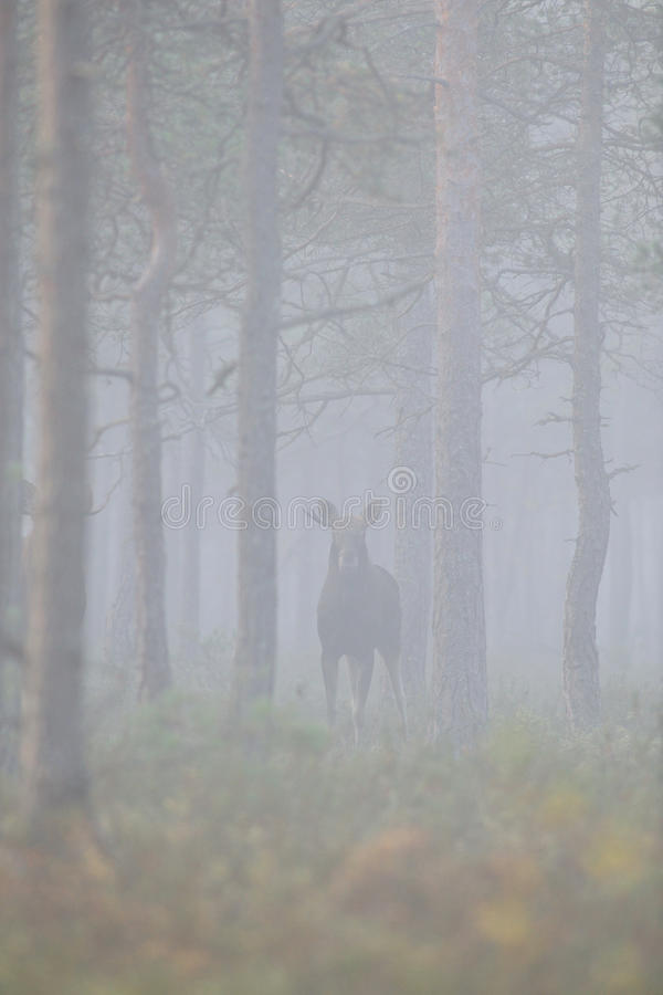 Moose in the misty forest. In autumn royalty free stock image