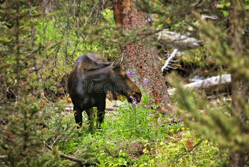 Moose. In Rocky Mountain National Park royalty free stock photo