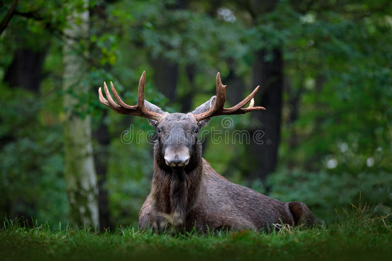 Moose, North America, or Eurasian elk, Eurasia, Alces alces in the dark forest during rainy day. Beautiful animal in the nature ha. Bitat royalty free stock image
