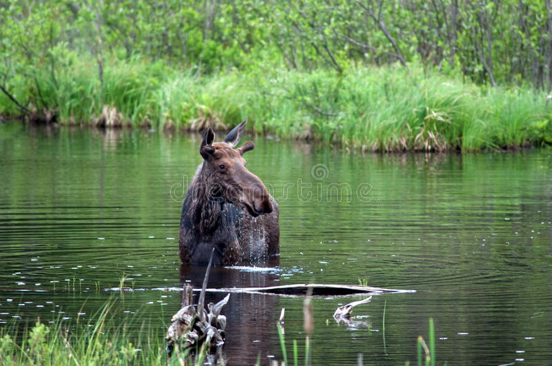 Moose in a pond. Moose wading through a pond in Algonquin Provincial Park stock photo