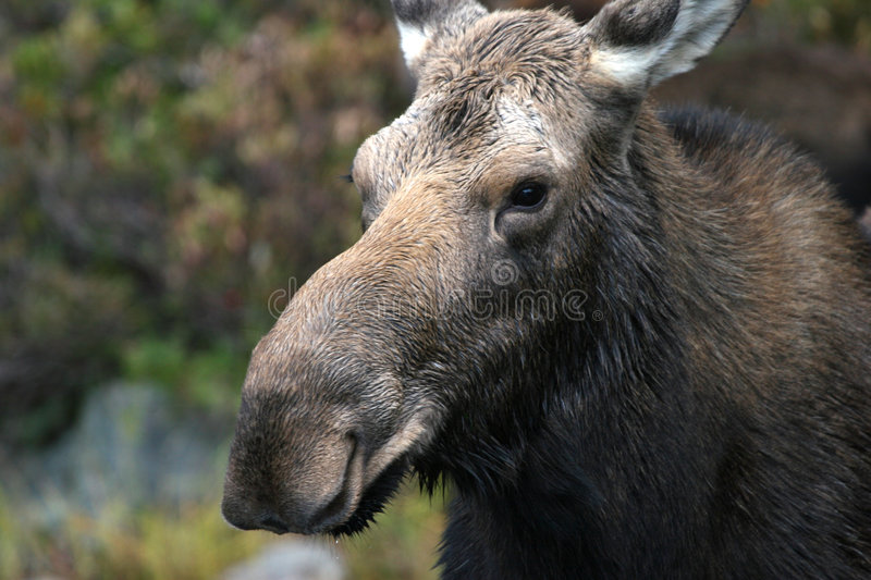Download Moose Portrait stock photo. Image of moose, state, proud - 544432