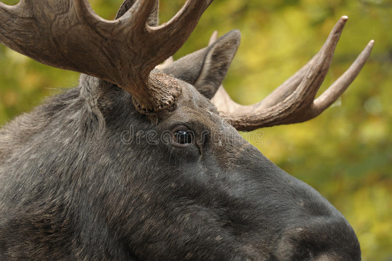 Moose portrait. Close up of a moose head royalty free stock image