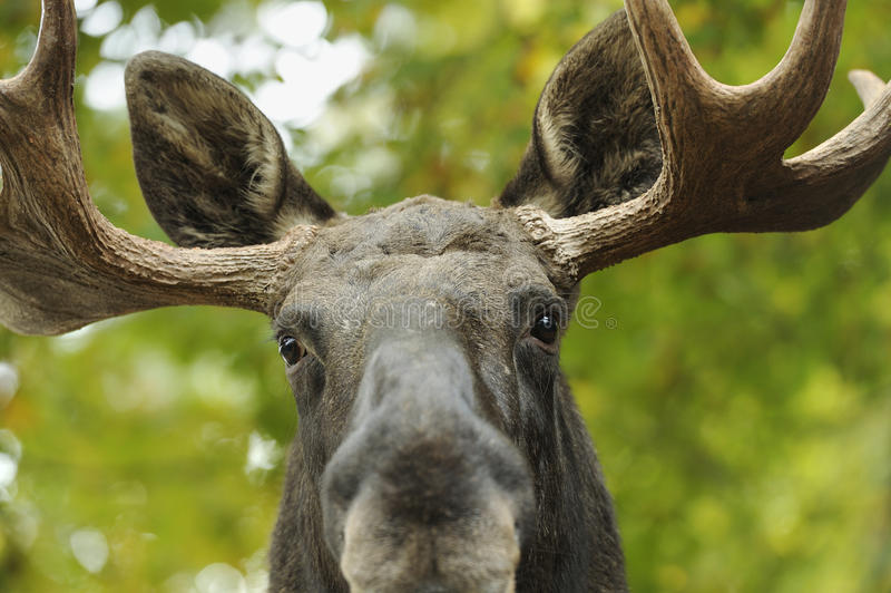 Moose portrait. Close up of a moose head stock photography
