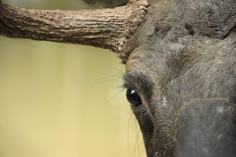 Moose portrait. Close up of a moose head stock photos