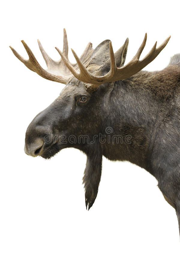 Moose portrait isolated. Moose, Alces alces, isolated on white stock photography
