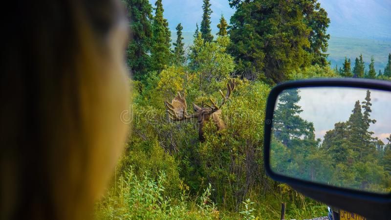 Moose POV of a women from the car. Women see a moose from her car in Denali national park alaska stock image