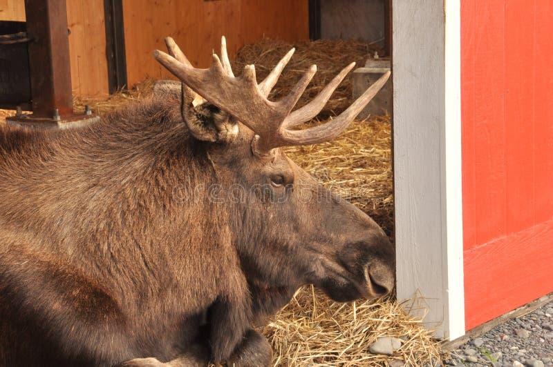 Moose in Peace. Moose resting in her home . Photo taken in Alaska region in 2015 royalty free stock photos