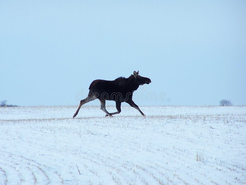 Moose running in winter royalty free stock photography