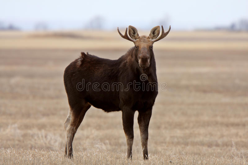 Moose on Saskatchewan field stock image