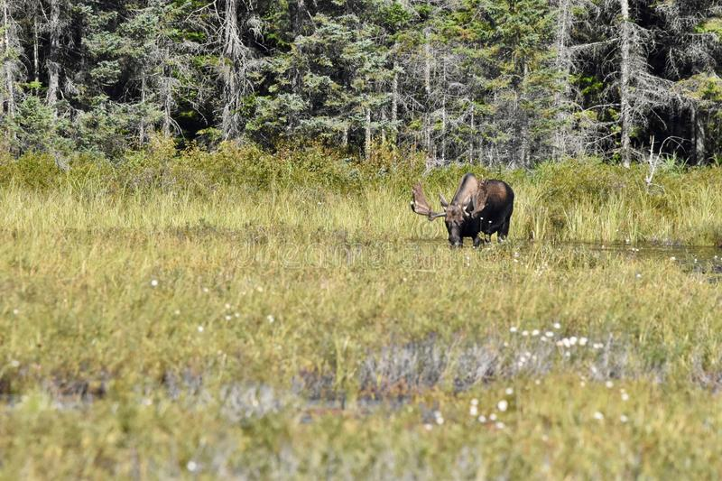 Bull Moose Grazing in Algonquin`s Wetlands. A moose shows off his amazing antlers while grazing under the hot midday sun of summer. He is feeding on the tall stock photo
