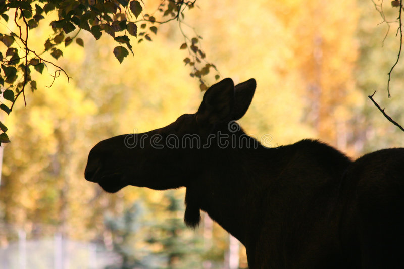 Moose Sillhouette. Female moose silhouetted against autumn tree colors stock photo