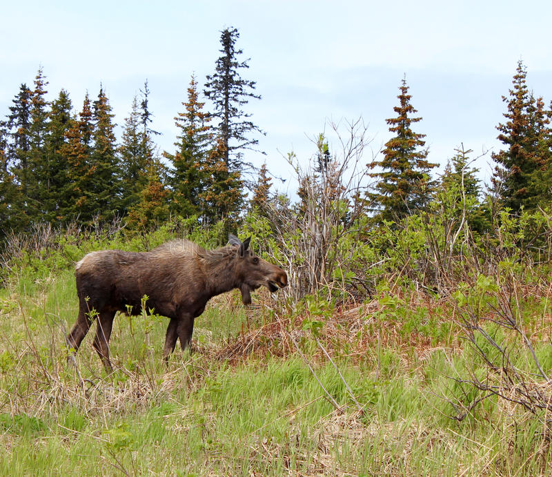 Moose in the spruce. A moose browsing in an Alaskan spruce forest royalty free stock images
