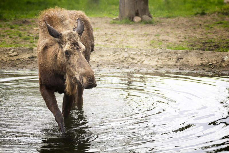 Moose. Standing in a small pond stock image